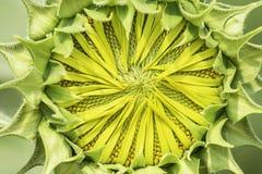 向日葵或向日葵在庭院里 库存照片