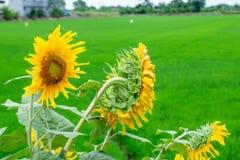向日葵或向日葵在稻田 库存图片