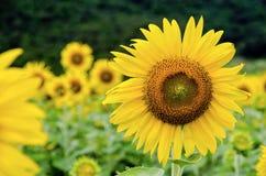 向日葵或向日葵 免版税图库摄影