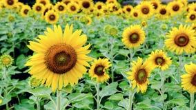 向日葵或向日葵 免版税库存图片