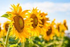 向日葵或者共同的向日葵在领域 库存图片