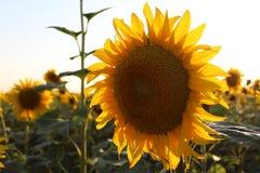 向日葵明亮的黄色花  库存图片