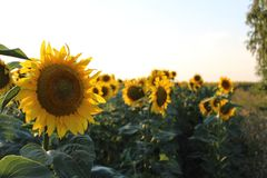 向日葵明亮的黄色花  免版税库存图片
