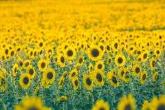 向日葵是从太阳的一朵花! 免版税图库摄影
