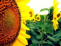 向日葵是微笑! 免版税库存照片