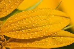 向日葵是非常美丽的 免版税库存照片