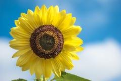 向日葵有天空背景 免版税库存照片