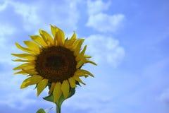 向日葵有天空蔚蓝背景  库存照片