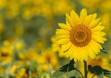 向日葵有抽象背景 图库摄影