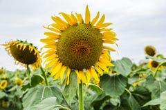 向日葵有新鲜一种美好的黄色的花和的感受 免版税库存照片