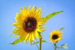 向日葵有迷离背景在夏季期间的晴天 库存照片