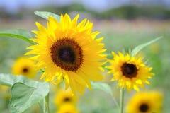 向日葵有迷离背景在夏季期间的晴天 免版税库存照片
