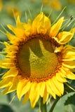 向日葵来临夏天的标志 免版税库存照片
