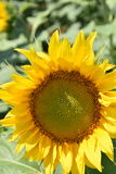 向日葵来临夏天的标志 库存图片