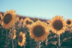 向日葵构造和设计师的背景 向日葵在葡萄酒样式的领域背景 向日葵宏观看法在绽放的 免版税图库摄影