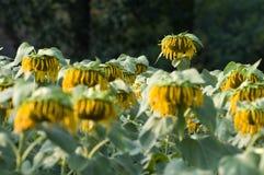 向日葵枯萎了 免版税图库摄影