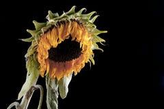 向日葵枯萎了 图库摄影
