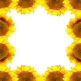 向日葵框架 库存照片