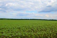 年轻向日葵植物的领域 免版税库存照片