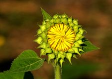 向日葵植物芽阶段  免版税库存图片