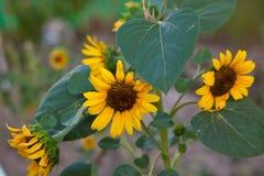 向日葵植物领域和草甸 库存照片