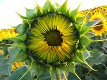 向日葵特写镜头 一朵明亮的晴朗的花 免版税库存照片