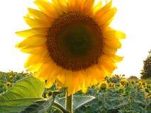 向日葵特写镜头 一朵明亮的晴朗的花 库存照片