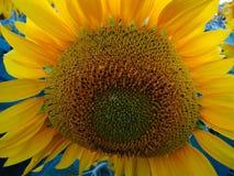 向日葵特写镜头 一朵明亮的晴朗的花 图库摄影