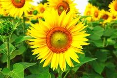 向日葵的一个巨大领域 库存图片