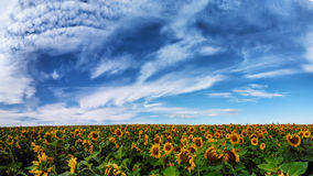 向日葵的全景领域 免版税库存图片