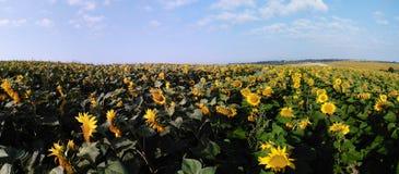 向日葵的全景领域 库存照片