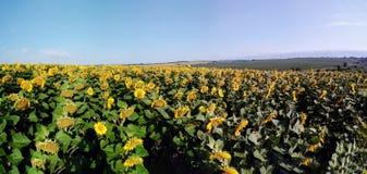 向日葵的全景领域 库存图片
