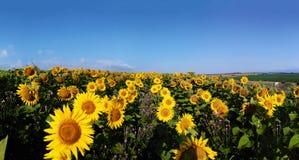 向日葵的全景领域 图库摄影
