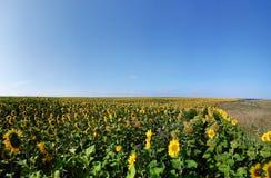 向日葵的全景领域 免版税库存照片