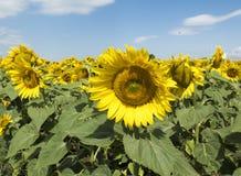 向日葵的大花 免版税库存图片
