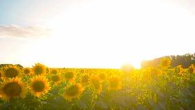 向日葵的大黄色领域,吹金黄向日葵,美丽的黄色花的风 影视素材
