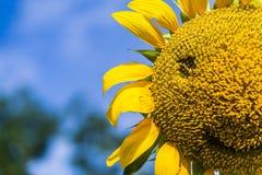 向日葵的微笑 免版税库存照片