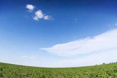 向日葵的日出领域在蓝天下。 库存图片