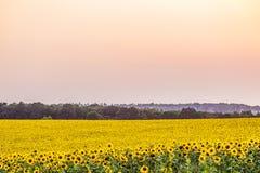 向日葵的明亮的黄色领域在晚上黄昏的散开的光的 库存照片
