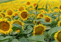 向日葵的浩大的领域在一个晴天 库存照片