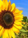 向日葵的瓣 库存照片