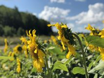 向日葵的种植园反对天空蔚蓝的 免版税图库摄影