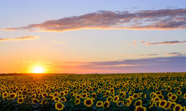 向日葵的美好的领域在日落时间 图库摄影