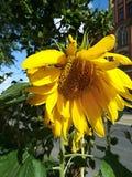 向日葵的花在阳光下 免版税库存图片