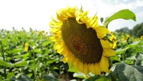 向日葵的花是大,向日葵的领域 影视素材