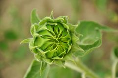 向日葵的花蕾 免版税库存照片