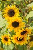 向日葵的花 免版税库存照片