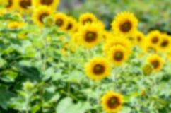 向日葵的迷离背景 免版税库存照片
