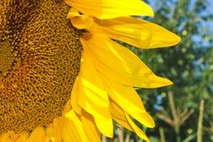 向日葵的部分的特写镜头在领域的 免版税库存图片