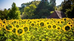 向日葵的领域与一个房子的背景的 免版税库存照片